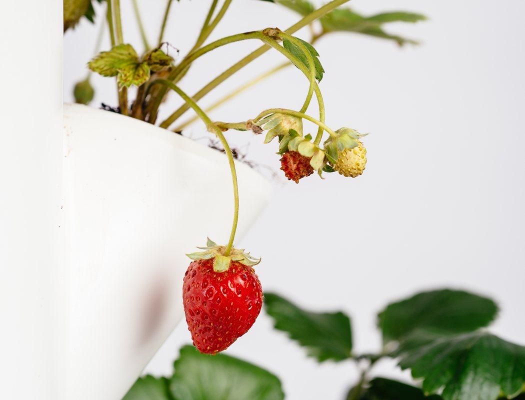 sissi_strawberry_tree_05